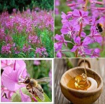 Кипрейный мед имеет множество полезных для человека свойств. В его состав входит большое количество витаминов, аминокислот, антиоксидантов. Он производит дубящий эффект, является хорошим антисептиком и противовирусным средством.