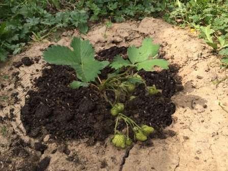 Каждый владелец дачного участка мечтает об обильном урожае клубники. Эта ягода обладает множеством полезных свойств и нравится как взрослым, так и детям. Для того чтобы растения на даче хорошо плодоносили, за ними необходимо правильно ухаживать.