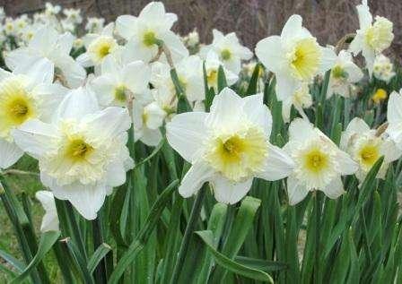 Нарцисс, фото цветов