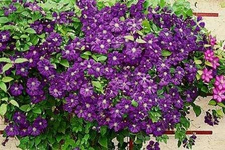 Клематис: ароматные растения для сада многолетние фото