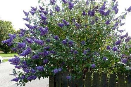 """Буддлея Давида Этот куст зацветает к началу осени. Он имеет название «Бабочкиного куста"""""""