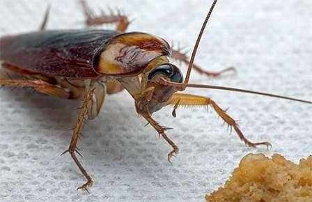 Быстрые методы борьбы с тараканами в домашних условиях