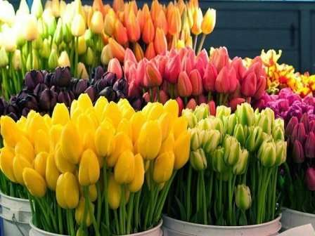 Выгонка тюльпанов предоставляет возможность каждому, в любое время года,