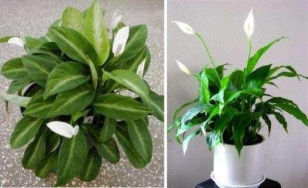 Для того чтобы комнатные растения красиво цвели и радовали глаз нужно не только вовремя их поливать, но и периодически подкармливать.