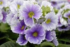 Полив Примула отзывчива на регулярный, обильный полив, особенно в период цветения. Но не переусердствуйте – избыток влаги приведет к загниванию корней. После цветения полив сокращают, в то же время не допуская пересыхания почвы.