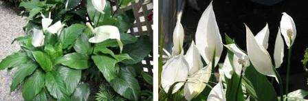 Желательно поливать спатифиллум отстоянной водой, которая постояла около 12 часов и стала комнатной температуры. Так как цветок любит повышенную влажность, рекомендуется дополнительно опрыскивать листочки.