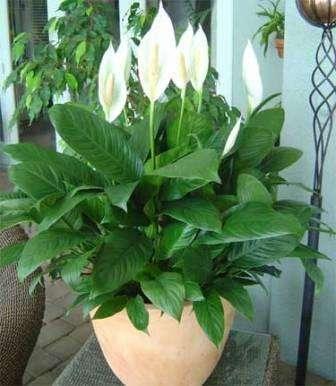Если вы будете правильно ухаживать за этим цветком, то он будет радовать цветением несколько месяцев в году. Нужно вовремя срывать засохшие листья обрезать отцветшие цветки, чтобы ваше растение всегда было свежим и красивым.