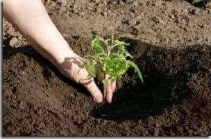 Примерно за неделю до момента высаживания рассады, грунт обрабатывают при помощи раствора медного купороса. Готовят его так: медный купорос, 1 столовая ложка, разводится на 10 литров воды. Расход при этом составляет 1.5 литра жидкости на 1 м. кв.