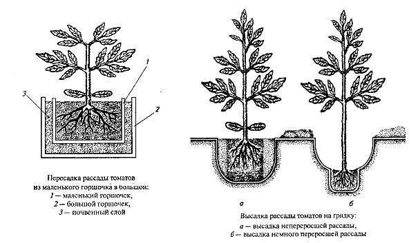 Слабую, переросшую рассаду высаживают наклонно, прикапывают при этом и часть ствола. Это позволяет укоротить его. Через некоторое время на той части ствола, которая была закопана, появляются корешки, укрепляющие, удерживающие растение.