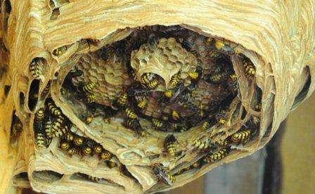 Если осиное гнездо находится в труднодоступном месте, препарат достаточно распространить в местах их заползания в гнездо