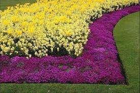 собой популярностью пользуются почвопокровные розы, ацена, чистец, колокольчик карпатский, медуцена и другие.