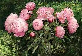 До и после цветения пионы удобряют азотом, фосфором и калием. Органические удобрения не используют, так как они вызывают различные грибковые заболевания.