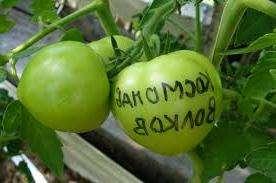 Этот сорт помидор высокорослый, поэтому если хотите добиться хорошего урожая, необходимо знать особенности выращивания Космонавт Волков.