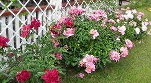 в последующие годы пионы будут обильно цвести. Не забывайте срывать отцветшие бутоны, чтобы появлялись новые красивые цветы.