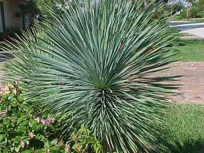 Отличительная особенность Юкки сизой в том, что она не имеет стебля. Листья достигают 65 сантиметров. Цвет сизо-зелёный