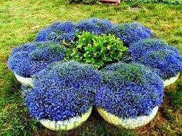 Когда настанет пора сажать семена лобелии, подготовьте горшки или вазоны, засыпьте в них вашу почву. Сделайте раствор фунгицида и полейте почву в вазонах за пару дней до высадки