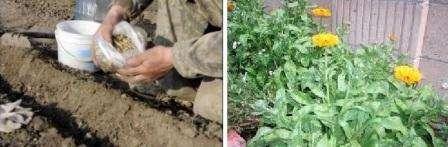 Посев семян на рассаду календулы провести нужно немного раньше, примерно в начале или середине марта. Для этого вам пригодятся ящики или горшочки. Землю можно использовать покупную для цветущих растений или обычную, добавив в нее перегной и питательные вещества