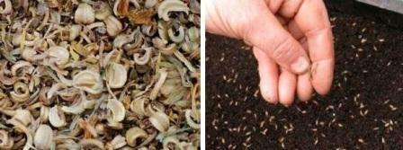 Многие считают, что календула используется только в лекарственных целях, поэтому высаживают ее в небольших количествах в клумбе.