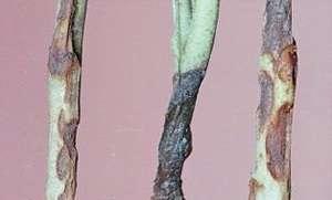 Вершинная гниль, стеблевая гниль, сухая пятнистость, мозаика – всем этим заболеваниям подвержены томаты на участке. При этом учитывайте, что растрескивание плодов – это не вирусная болезнь, а показатель
