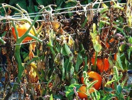 Скручивание листьев и изменение окраски на бурую. Это симптомы поражения бактериальным раком. Чтобы убедиться, действительно ли эта болезнь поразила ваши помидоры, разрежьте стебель, он будет бурого цвета.