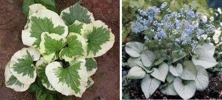 Пересаживайте брунеру сразу после того, как она отцветет. Выкопайте куст, срежьте листья, замочите корни в воде, а потом разделите их