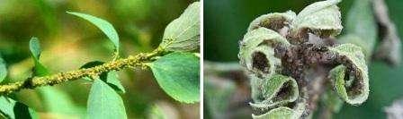 Вред, который наносит тля плодовым деревьям многие садоводы и дачники недооценивают. Насекомое прокалывает листья и высасывает сок, в результате ткани деформируются и отмирают. Из организма тли выводятся избытки вод