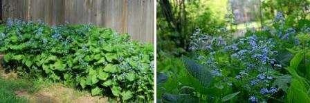 Существует несколько видов брунеры, уход за каждым имеет свои особенности. Сибирский цветок не боится морозов и не нуждается в обильном поливе