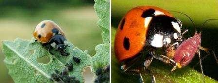 Попробуйте завести в своем саду насекомых и птиц, которые питаются тлей. Для этого посадите растения, которые будут привлекать божьих коровок, златоглазок и мух.