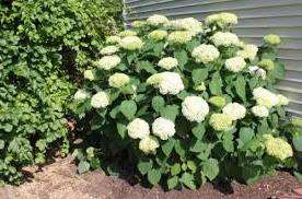 Аннабель – самый распространенный вид гортензии, который отличается большими пушистыми цветами и вырастает до 2 метров.