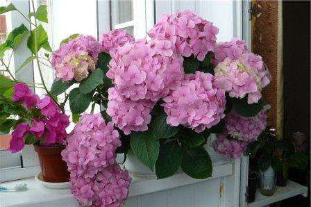Комнатная гортензия считается одной из самых капризных и в то же время самых красивых цветов. Она способна менять окраску,