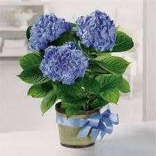 Если гортензия не дает цветы, а идет только в листву, необходимо определить причины, почему. Хотя этот кустарник неприхотливый, весной его необходимо правильно обрезать. Особое внимание стоит уделить поливу, освещению и удобрению.