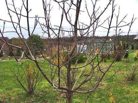 Для посадки саженцов сорта Мельба необходимо подобрать открытое место на участке, которое защищено от ветра. Высаживать деревья лучше с осени, при этом можно не вносить удобрения в первый год после посадки.