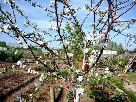 Плоды яблони Мельба достаточно крупные, весом до 150 гр. Их форма немного вытянутая и приплюснутая в нижней части.