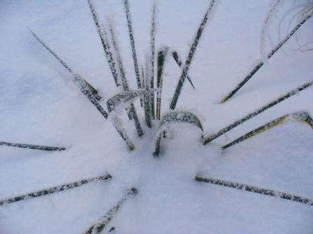 Место для выращивания юкки садовой должно быть солнечным и тёплым. При наличии небольшой полутени возможна высадка и в таком месте