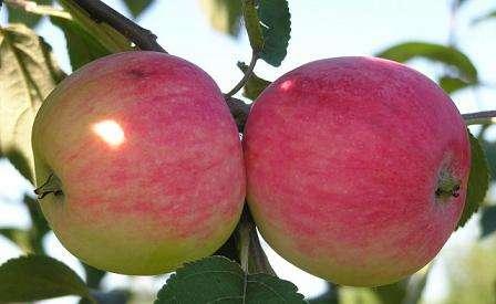 Сорт яблони Мельба по отзывам идеально подходит для сада и выращивания в промышленных масштабах. Надеемся, что описание сорта