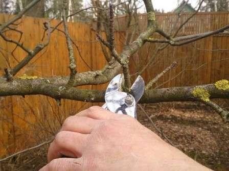Когда вы выполните все необходимые мероприятия по обрезки яблоневого дерева, приступайте к обработке стволовой части. Начните с выявления на коре лишайников