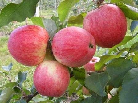 плодов, но и устойчивостью дерева к различным заболеваниям и заморозкам. Если вы решили посадить Мельбу на своем участке