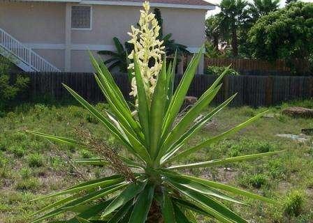 Внешне юкка садовая напоминает пальму - раскидистые листья и корневой ствол имеют сходство с пальмовыми культурами.