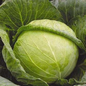 В случае, когда семена белокочанной капусты высеваются в грунт, тоже нужно пикировать рассаду. В открытый грунт семена капусты высаживают на расстоянии около 20 см на небольшую глубину. Следите за температурой воздуха, е