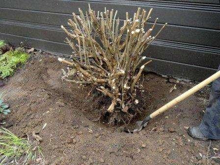 Пересаживать гортензию на новое место разрешено как весной, так и осенью, однако в весенний период времени сделать это намного сложнее.