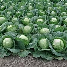 Если вы планируете выращивать капусту рассадой, то семена также нужно подготовить, но высадить в специально подготовленные ящики.