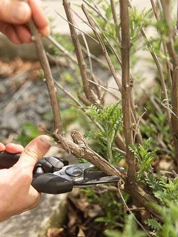 сенью необходимо обрезать все старые и ненужные ветки аж до основания, а весной просто подкорректировать форму куста.