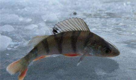 Рекомендуется выезжать на рыбную ловлю с утра или под вечер. В это время окунь начинает охотиться, а днем его активность заметно понижается.