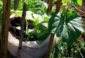 Подготовьте грунт для посадки огурцов и выращивания в мешках. Можно взять обычную смесь для овощных культур или самостоятельно смешать землю с навозом. Заполните мешки на 1/3 часть подготовленной землей,