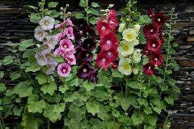 В качестве подкормке при правильном уходе за розой шток подойдет обычное универсальное удобрение для цветущих растений.