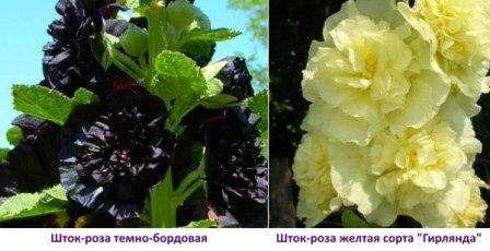 Мальву можно выращивать из семян, которые высаживают в открытый грунт осенью или весной. Недостаток выращивания из семян в том, что ес