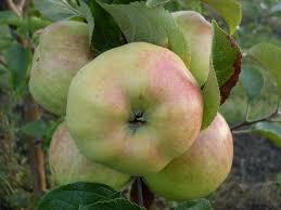 Плоды по описанию и фото отличаются круглой формой, но немного сужены. Зрелые плоды имеют массу до 150 гр, редко вес достигает 200 гр. После созревания яблоки приобретают зелено-желтый окрас, при сильной жаре на них могут появитьс