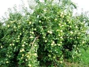 «Уже семь лет у меня растет яблоня Богатырь. Радуюсь, что урожай хороший и регулярный, при это яблоки можно не срывать с дерева почти до первых заморозков».