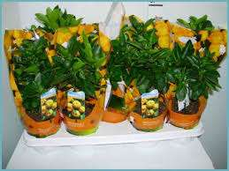 Цитрофортунелла – это миниатюрное деревце с яркими плодами, похожими на мандарины. Выращивать его можно в домашних условиях, а при правильном уходе каламондин будет цвести и плодоносить круглогодично. Н