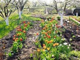 Всем известно, что качество урожая в целом, зависит от посадочного материала, поэтому нужно приобрести хорошие луковицы тюльпанов или, если есть желание, вырастить их самому. Для этого у тюльпанов срезают цв
